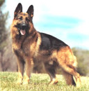 cachorro pastor alemao 2