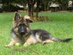 cachorro pastor alemao 3