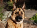 cachorro pastor alemao 4