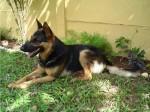 cachorro pastor alemao 6