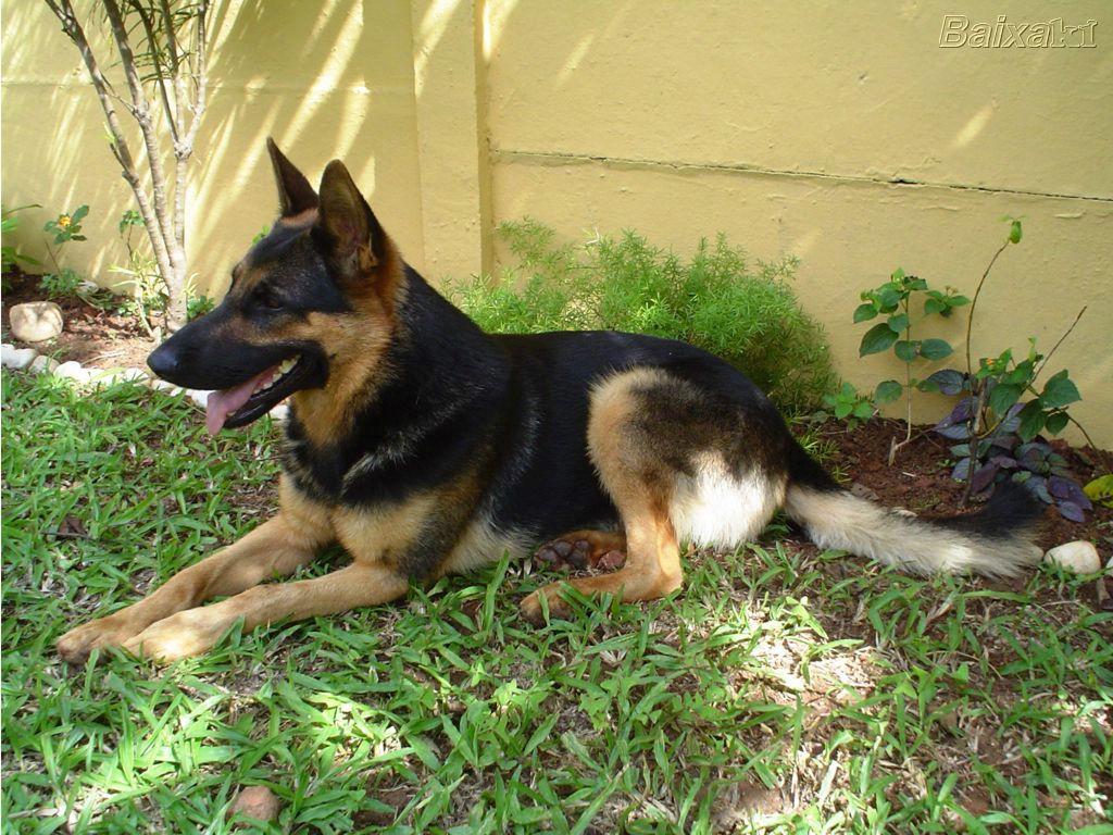 Cachorro pastor alem 227 o corajoso e amigo da fam 237 lia