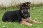 cachorro pastor alemao 7
