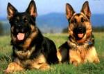 cachorro pastor alemao 8